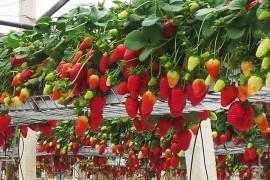 Pain de coco pour culture fraises